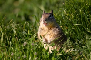 California-Ground-Squirrel;Oncorhynchus-nerka;One;Otospermophilus-beecheyi;color