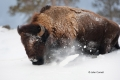 American-Bison;Bison;Bison-bison;Buffalo;One;Snow;Winter-Yellowstone-National-Pa