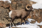 Bighorn-Sheep;Ovis-canadensis;Sheep;Snow;Rocks;Winter;Foraging;Climbing;Horns;Cu