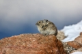 Pika;Ochotona-alpina;One;one-animal;outdoors;outside;untamed;wild;color;color-ph