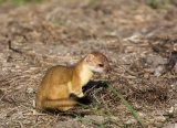 Weasel;Mustela-frenata;Long-tailed-Weasel;One;one-animal;outdoors;outside;untame