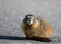 Marmot;Marmota-flaviventris;one-animal;close-up;color-image;photography;day;outd