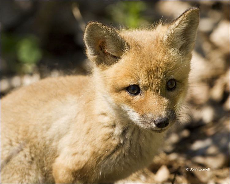 Red Fox;Fox;Kit;Juvenile;one animal;close-up;color image;nobody;photography;day;outdoors. Wildlife;animals in the wild