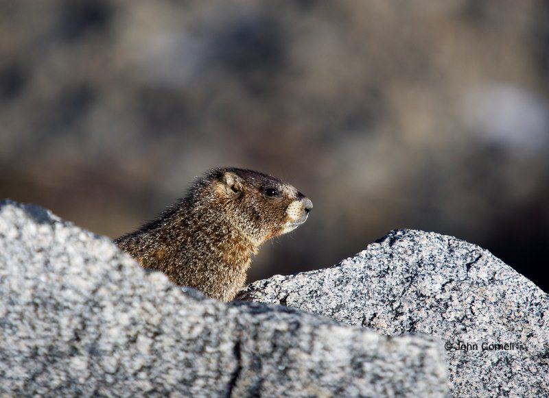 Marmot;Marmota flaviventris;one animal;close-up;color image;photography;day;outdoors. Wildlife;animals in the wild;feathered;wilderness;watch;watchfull;Yellow-bellied Marmot;One;outdoors;outside;untamed;wild;color;color photograph;daytime;close up;watching;watchful;Colorado;Mount Evans;Close up