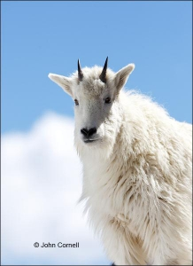Mountain-Goat;Rocky-Mountain-Goat;Oreamnos-americanus;Yearling;One;one-animal;ou