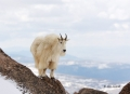 Mountain-Goat;Rocky-Mountain-Goat;Oreamnos-americanus;One;one-animal;outdoors;ou