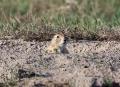 Prairie_Dog