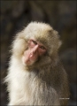 Japanese-Macaque;Snow-Monkey;Macaca-fuscata;Japanese-Snow-Monkey;One;one-animal;