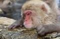Japan;Japanese-Macaque;Japanese-Snow-Monkey;Snow-Monkey;Macaca-fuscata;Narita;Sn