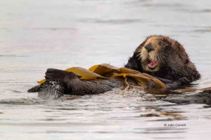 Enhydra-lutris;Feeding-Behavior;Sea-Otter;feeding