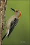 Golden-fronted-Woodpecker;Woodpecker;Southwest-USA;Texas;Male;Melanerpes-aurifro