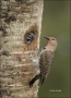 Northern-Flicker;Flicker;Nest-Hole;Chick;Florida;Southeast-USA;Female;Colaptes-a
