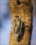 Florida;Yellow-bellied-Sapsucker;Sphyrapicus-varius;one-animal;close-up;color-im