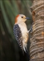 Red-bellied-Woodpecker;Woodpecker;Nest-Hole;Florida;Southeast-USA;Melanerpes-car