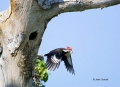 Woodpecker;Dryocopus-pileatus;Pileated-Woodpecker;Flying-bird;action;aloft;behav