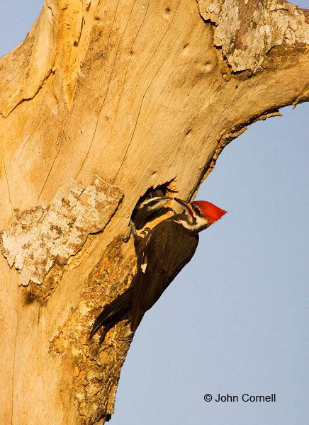 Woodpecker;Dryocopus pileatus;Pileated Woodpecker;Parent;Chick;bond;bonding;family;innocent;juvenile;relationship;relationships;Nest;Nest Hole