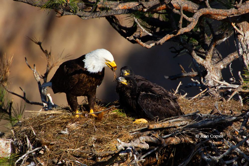 Bald Eagle;Birds of Prey;Eagle;Feeding Behavior;Haliaeetus leucocephalus;Nest;Offspring;aerie;chicks;curved beak;feeding;hunter;parent;parenting;predator;predatorily;raptor;safety;talon;talons