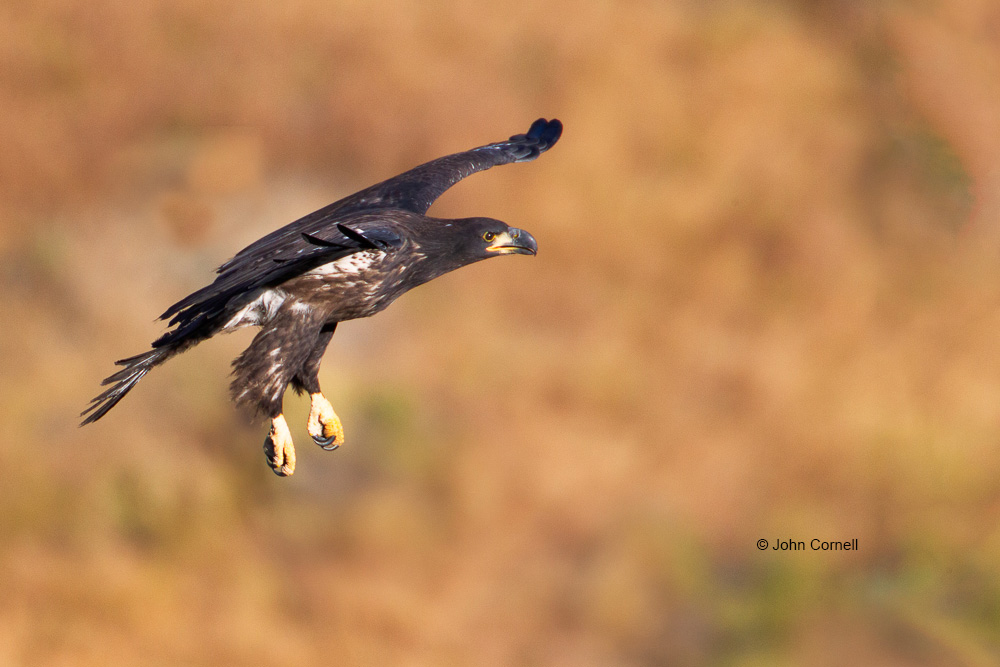 Bald Eagle;Birds of Prey;Eagle;Flying Bird;Haliaeetus leucocephalus;Photography;action;active;aloft;behavior;bird in flight;birds;buir;color image;curved beak;flight;fly;flying;in flight;motion;movement;one animal;predator;raptor;soar;soaring;talons;wing;winged;wings
