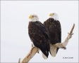 Alaska;Kenai-Peninsula;Bald-Eagle;Eagle;Haliaeetus-leucocephalus;one-animal;clos