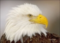 Alaska;Kenai-Peninsula;Bald-Eagle;Haliaeetus-leucocephalus;portrait;one-animal;c
