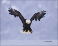 Alaska;Kenai-Peninsula;Bald-Eagle;Flight;Haliaeetus-leucocephalus;Birds-of-Prey;