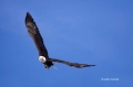Kenai-Peninsula;Bald-Eagle;Flight;Haliaeetus-leucocephalus;Alaska;Birds-of-Prey;