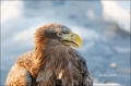 White-tailed-Eagle;White-tailed-Sea-Eagle;Sea-Eagle;Haliaeetus-albicilla;Japan;O
