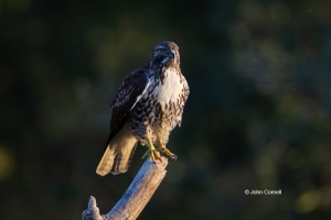 Bird-Portrait;Birds-of-Prey;Buteo-jamaicensis;Hawk;Red-tailed-Hawk;curved-beak;r