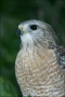 Red-shouldered-Hawk;Hawk;Florida;one-animal;color-image;nobody;photography;day;o