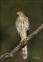 Coopers-Hawk;Hawk;Acipiter-cooperii;one-animal;color-image;nobody;photography;da