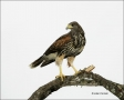 Hawk;Harriss-Hawk;Juvenile;Southwest-USA;Texas;Parabuteo-unicinctus;one-animal;c