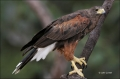 Hawk;Harriss-Hawk;Southwest-USA;Texas;Parabuteo-unicinctus;one-animal;close-up;c