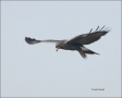 Snail-Kite;Florida;Apple-Snail;Prey;Rostrhamus-sociabilis;Flight;Birds-of-Prey;C