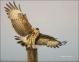 Snail-Kite;Kite;Juvenile;Flying-bird;One-animal;Close-up;Color-image;photography
