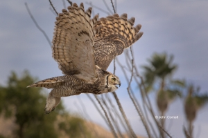 Arizona;Arizona-Desert-Museum;Bubo-virginianus;Flying-Bird;Great-Horned-Owl-Owl;