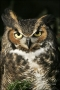 Great-Horned-Owl;Owl;Bubo-virginianus;one-animal;close-up;color-image;nobody;pho