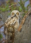 Florida;Everglades;Southeast-USA;Owl;Great-Horned-Owl;Bubo-virginianus;one-anima