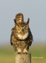 Owl;Florida;Southeast-USA;Bubo-virginianus;Owl;Florida;Southeast-USA;Bubo-virgin
