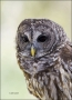 Florida;Southeast-USA;Barred-Owl;Owl;Strix-varia;one-animal;close-up;color-image
