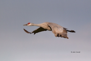 Crane;Flying-Bird;Grus-canadensis;One;Photography;Sandhill-Crane;action;active;a