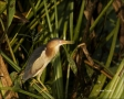 Least-Bittern;Bittern;Ixobrychus-exilis;Everglades;one-animal;close-up;color-ima