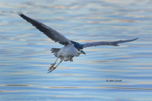 Black-crowned-Night-Heron;Flying-Bird;Heron;Nycticorax-nycticorax;Photography;ac