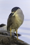 Black-crowned-Night-Heron;Heron;Nycticorax-nycticorax;One;avifauna;bird;birds;co