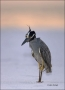 Florida;Heron;Nyctanassa-violacea;one-animal;close-up;color-image;nobody;photogr