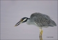 Yellow-crowned-Night-Heron;Heron;Florida;Southeast-USA;Prey;Nyctanassa-violacea;