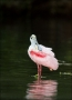 Roseate-Spoonbill;Spoonbill;Breeding-Plumage;one-animal;close-up;color-image;pho