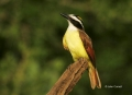 Texas;Southwest-USA;Great-Kiskadee;Pitangus-sulpheratus;One;one-animal;avifauna;