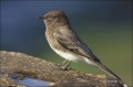 California;Black-Phoebe;Phoebe;Southwest-USA;Sayornis-nigricans;one-animal;close