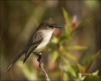 Florida;Southeast-USA;Everglades;Phoebe;Eastern-Phoebe;Sayornis-phoebe;one-anima