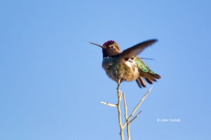Annas-Hummingbird;Arizona;Calypte-anna;Hummingbird;One;avifauna;bird;birds;color